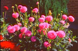 Buy and grow dahlias from tubers