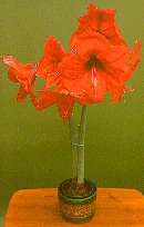 Grow Hippeastrum, Amaryllis, from bulb