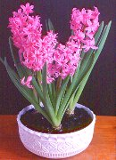 Grow hyacinth bulbs now for Christmas and the new year.