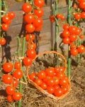 Buy and grow tomatoes from seeds